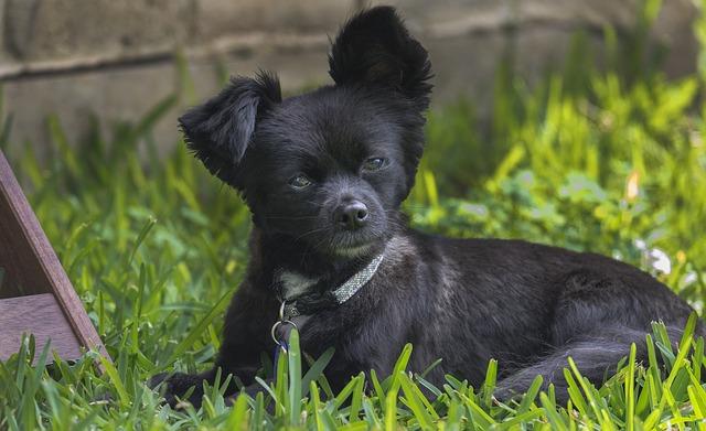 Lavori in corso: il cane inizia a conoscere l\'erba sintetica